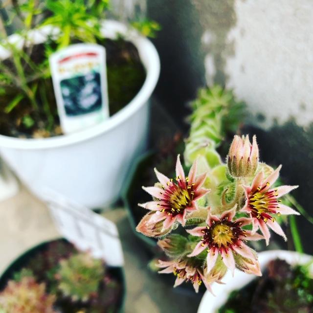 センペルビウムの花