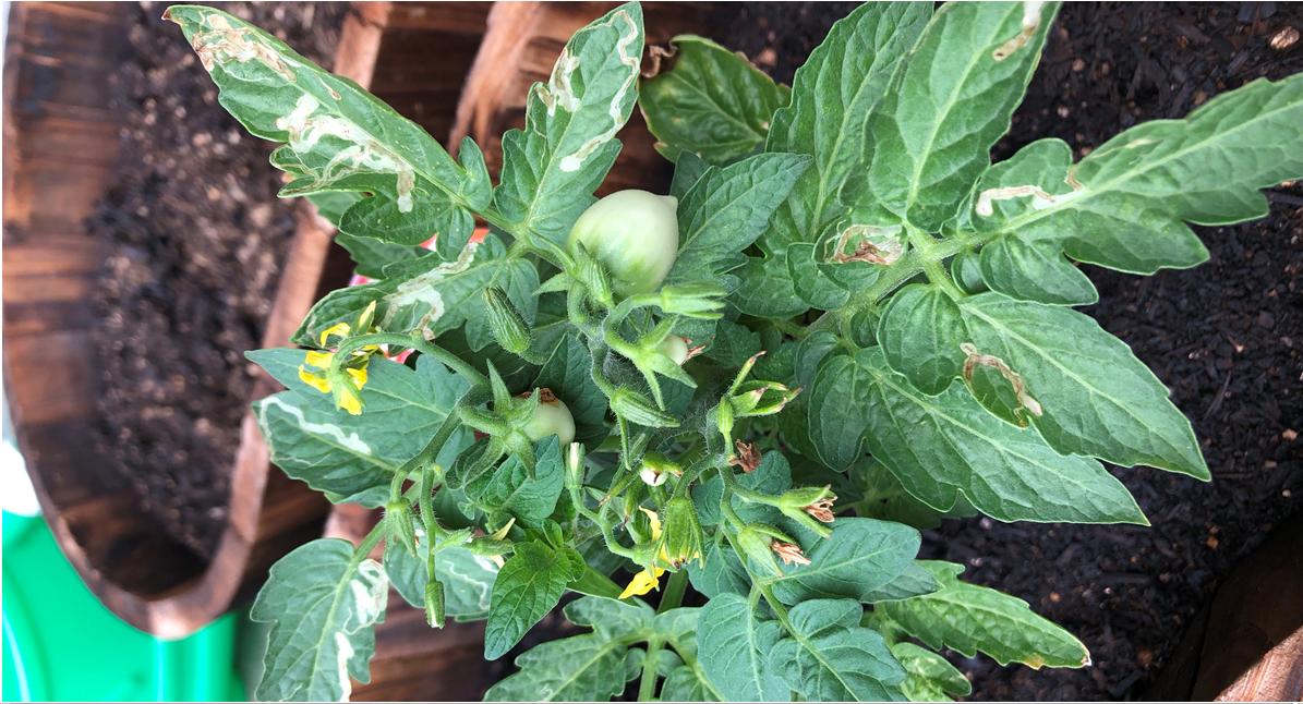【野菜】トマトができました
